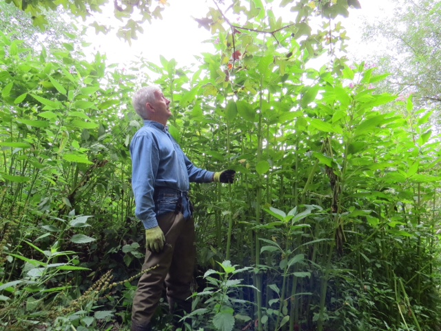 Help us tackle the menace of Himalayan balsam