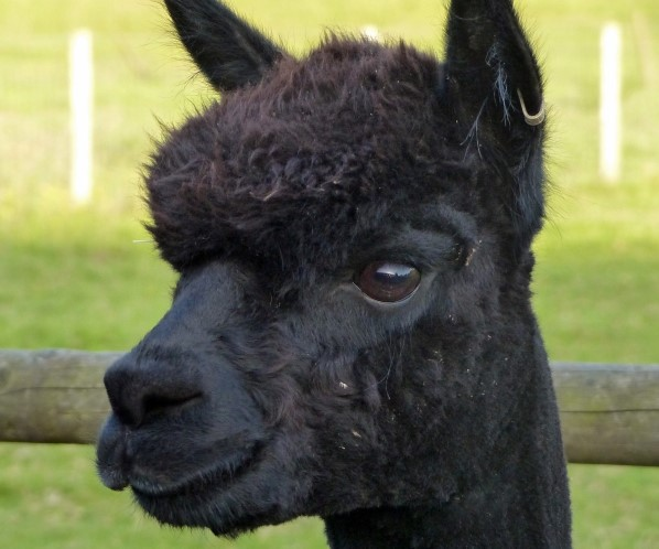 Appeal bid to save alpaca from being slaughtered