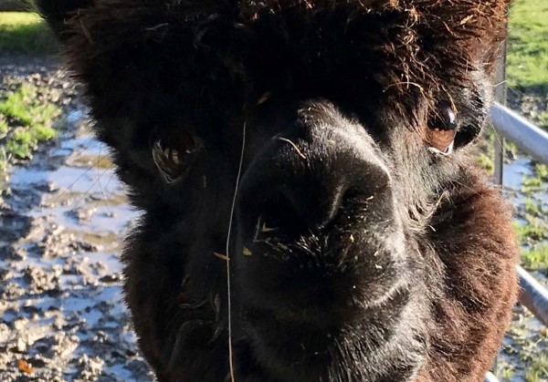 Alpaca Geronimo is victim of government's 'kill at all costs' policy, says farmer